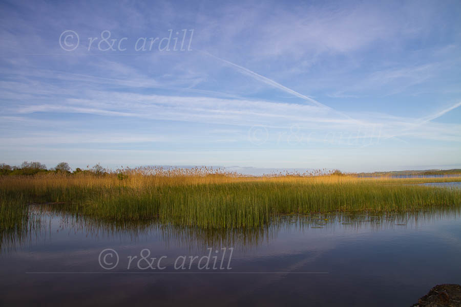 Photo of Clare Lough Derg Reeds - D04019