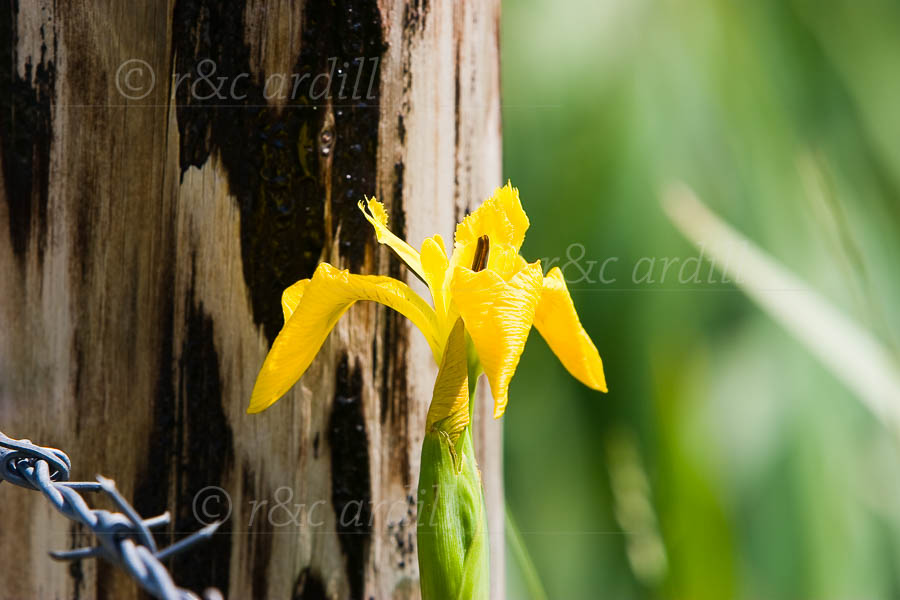 Photo of Yellow Flag - M01064