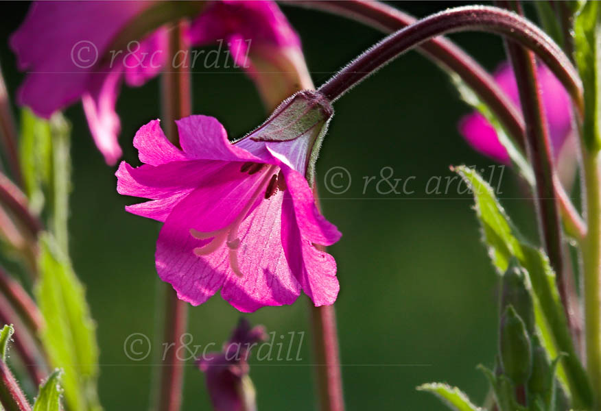 Photo of Great Willowherb - M21730