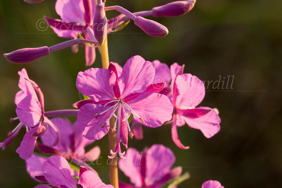 Photo of Fireweed - M21813