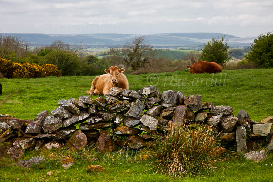 Photo of Clare Wall and Cows - T25969