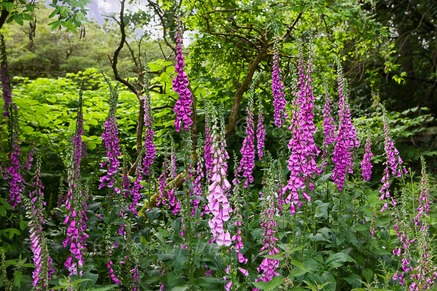 Photo of Foxglove - W22496
