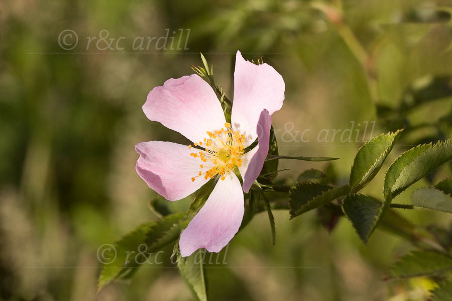Photo of Field Rose - W43598