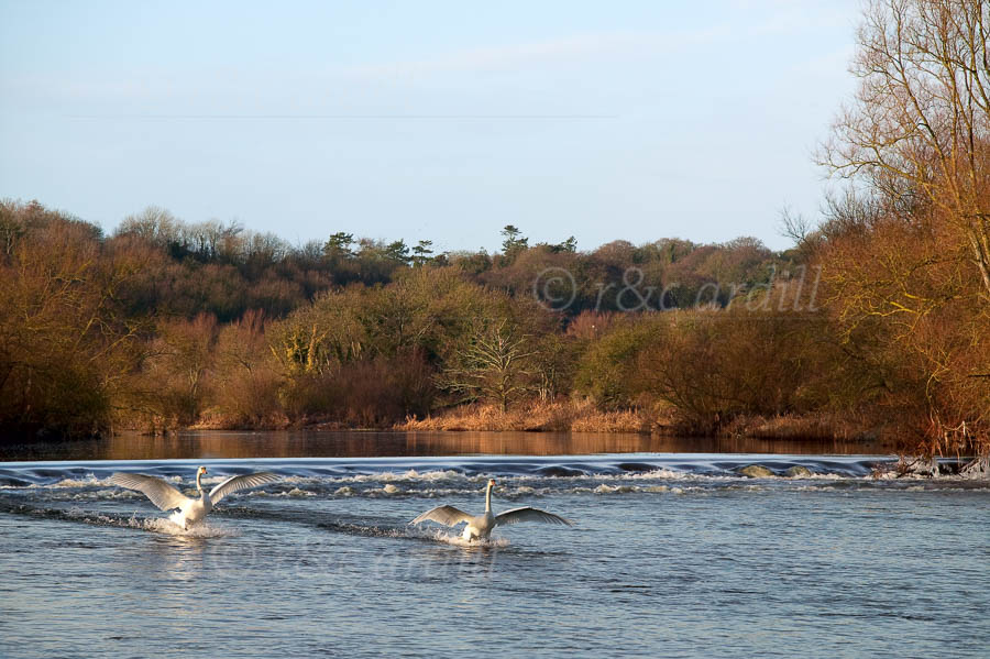 Photo of Weir with Swans Landing - W51005