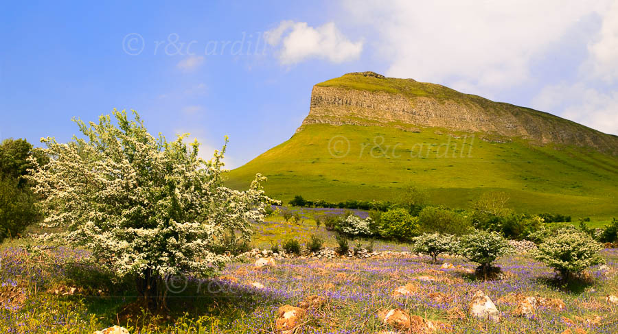 Photo of Ben Bulben Bluebells - W60984