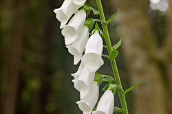 Photograph of White Foxglove - C20931