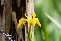 Photograph of Yellow Flag - M01064