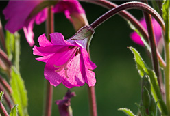 Photograph of Great Willowherb - M21730