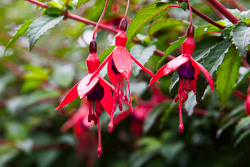 Photograph of Fuchsia - M22279
