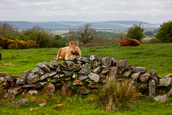 Photograph of Clare Wall and Cows - T25969